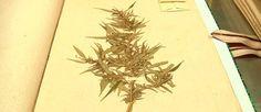 Les incroyables trésors de l'Histoire sur le plus ancien pied de cannabis : http://bcove.me/754b823w #Cannabis #drogue #reportage #w33daddict #☠