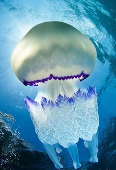 Rhizostoma pulmo The Barrell Jellyfish (Rhizostoma Pulmo) is commonly found in the Irish Se. Rhizostoma pulmo The Barrell Jellyfish (Rhizostoma Pulmo) is commonly found in the Irish Sea. Measuring up to in diameter, it is the largest jellyfish foun Underwater Creatures, Underwater Life, Beautiful Creatures, Animals Beautiful, Fauna Marina, Deep Blue Sea, Deep Purple, Orcas, Sea And Ocean