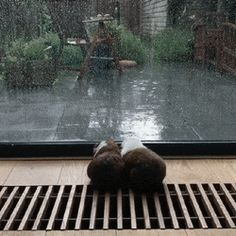 Guinea Pigs Watching Rain