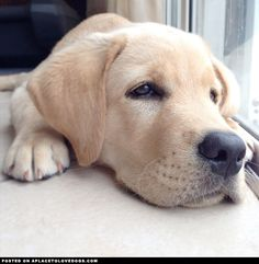 English Labrador • APlaceToLoveDogs.com • dog dogs puppy puppies cute doggy doggies adorable funny fun silly photography