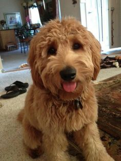Goldendoodle.  Wld love one of these or a golden retriever for our next doggie!!!