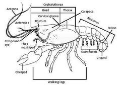 external anatomy of the crayfish q worksheet w answer key cc cycle 1 pinterest anatomy. Black Bedroom Furniture Sets. Home Design Ideas