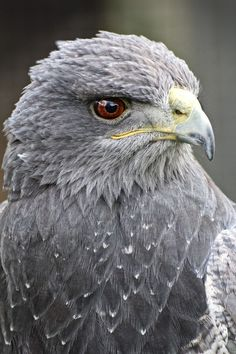 Black chested buzzard eagle - South America