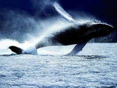 Φωτογραφία – Όταν οι φάλαινες κάνουν άλματα έξω από το νερό