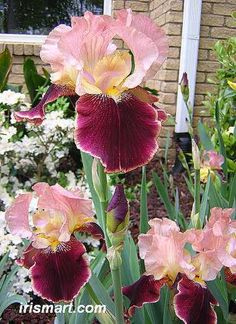 Tall Bearded Iris 'Burgandy Party' (Iris germanica)