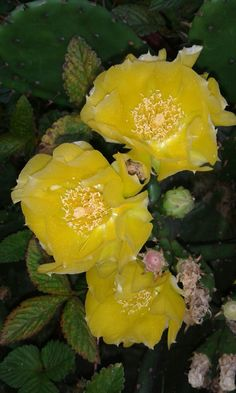 Kaktus zute boje koji prezimljava u kamenjaru!
