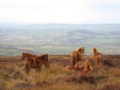 Wild Horses on Abdon Burf The Long Mynd and Wenlock Edge form the backdrop to this picture of horses grazing on Abdon Burf, the highest point in Shropshire. It lies on Brown Clee Hill.
