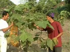 How to make fig leaf tea   Fig leaf is known as the long time that has some benefits for health. Fig tree leaves. In Gresik in East Java, Indonesia the cultivation of figs grow well an...