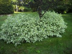 Dogwood Shrubs In The Yard : Fast Growing Shrubs For Your Garden. Dogwood has always been noted for Shrubs For Landscaping, Planting Shrubs, Garden Shrubs, Shade Garden, Garden Plants, Landscaping Ideas, Inexpensive Landscaping, Driveway Landscaping, Flowers Garden