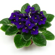 Três dicas para você cuidar de suas violetas!