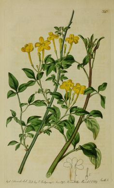 Jasminum humile (Yellow Italian Jasmine). Plate from 'The Botanical Register' (1815) by Sydenham Edwards (1768-1819). Boston Public Library. archive.org