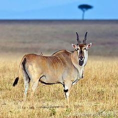 """Ejemplar adulto de """"eland"""" en la sabana africana."""