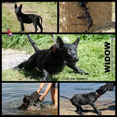 WIDOW, 10 weeks FROM UK Dutch Shepherd Dog, About Uk, Goats, Animals, Guard Dog, Dogs, Animales, Animaux, Animais