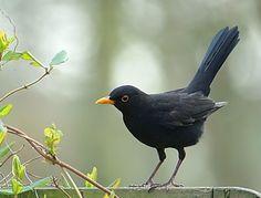 Black Bird Local names: Merle, Blackbird, Bequia-Sweet, Mirlo Pretty Birds, Beautiful Birds, Crow Painting, Bird Artwork, Black Garden, Cardinal Birds, Australian Birds, Bird Theme, Tropical Birds