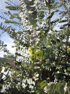 Eucalyptus kruse and