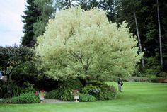 Acer negundo, Boxelder, Ash-leaved Maple - Plant Database - University of Connecticut