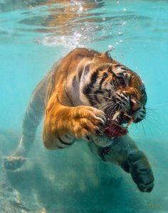 Strange... Kitten hate bathing but... (?_?) Hi, Big Cat. You enjoy swimming?