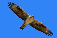 Bonelli's Eagle (Aquila fasciata) Tavşancıl