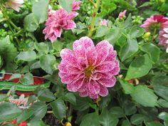 Blumen, verschiedene BUGA-Standort Rathenow