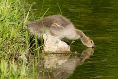 Goose getting a drink | by Macomb Paynes