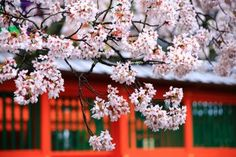 Kyoto Bishamondo-Temple cherry blossoms