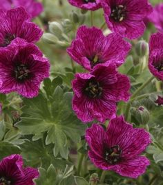 May I lie my head on you, Geranium cinereum Purple Pillow ? Perennial Geranium, Cranesbill Geranium, Hardy Geranium, Cottage Garden Plants, Pink Garden, Colorful Garden, Best Perennials, Hardy Perennials, Little Flowers