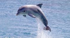 "Dolphins are highly intelligent marine mammals, part of the family of ""toothed whales"" which includes orcas & pilot whales"