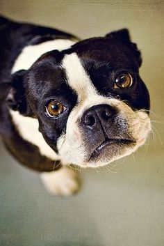 I have a Boston Terrier mix but his face is so simillar to the original.