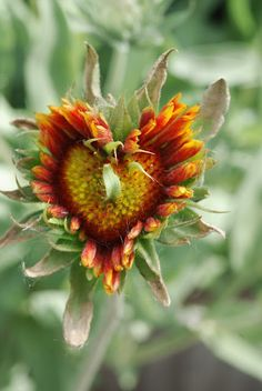 Beauty is in the eye of the beholder. Is this a malformed blanket flower or is it Perfectly formed?