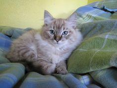 My Seal Mink Lynx Ragdoll Kitten!  :D Softest cat ever!!!