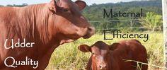 Senepol Cattle Breeders Association
