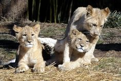 Zuri, Luke and Leia- Young lion cubs at the Maryland Zoo in Baltimore