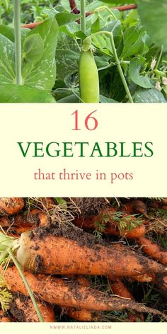 These 16 delicious vegetables can actually thrive in pots and containers! If you don't have a lot of space or a huge yard, container gardening is an excellent option for growing your own vegetable garden! plans 16 Vegetables that Thrive In Pots Growing Vegetables In Containers, Growing Veggies, Container Gardening Vegetables, Planting Vegetables, Container Plants, Growing Plants, Vegetable Garden For Beginners, Home Vegetable Garden, Gardening For Beginners