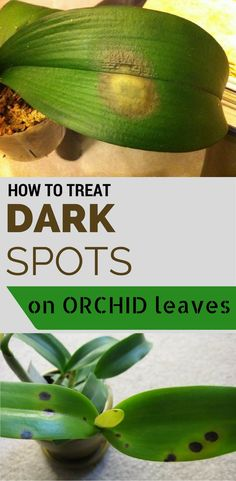 How to treat dark spots on orchid leaves.