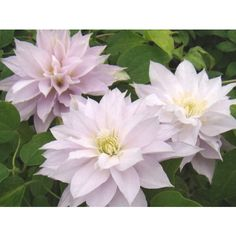 Clematis Dancing Queen