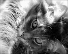 """EYE SEE YOU""  Cat Photography - Black & White 8"" x 10"" Photographic Print - by aqualumenstudio, $30.00"