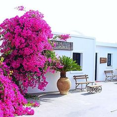 Finikia Memories Hotel - Santorini, Greece  Beautiful - Bougainvillea Bougainvillea, Santorini Greece, Greek Islands, Amazing Places, Athens, The Good Place, Memories, Instagram Posts, Nature