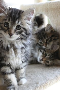 Siberian Kittens::Sorta like Maine Coons. Pretty much what Feather and Finne looked like as kittens, except Finne had Much bigger eyes and longer ear points. Pretty Cats, Beautiful Cats, Animals Beautiful, Baby Animals, Funny Animals, Cute Animals, Funny Cats, Animals Images, Cute Kittens
