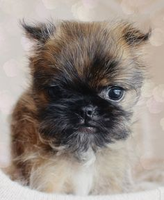 Brussels Griffon Puppy :)                                                       …