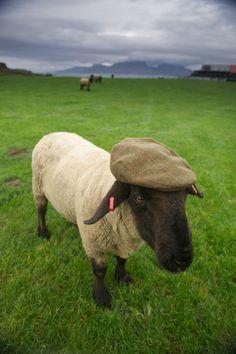 ✿ڿڰۣ Hat - Port Mor, Isle of Muck, Small Isles, Inner Hebrides, Scotland Scottish Animals, Tierischer Humor, Suffolk Sheep, Animals And Pets, Cute Animals, Shetland, Ireland Uk, National Geographic, Celtic