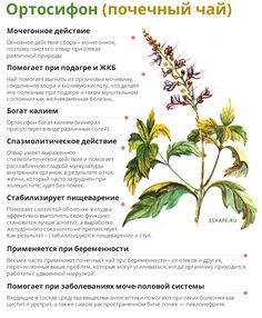 Полезные свойства почечного чая