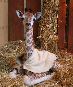 Even if you think you don't need this baby giraffe in your life, these pictures will prove you wrong