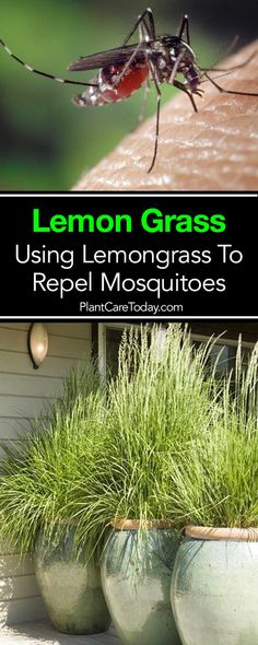 Is Lemongrass Mosquito Repellent? Citronella oil in lemon grass is used in many mosquito repellents. Here is How To use it as a mosquito repellent [DETAILS] Organic Gardening, Lemon Grass, No Grass Backyard, Lemongrass Plant, Garden Pests, Plants, Grass, Natural Insect Repellant, Gardening Tips