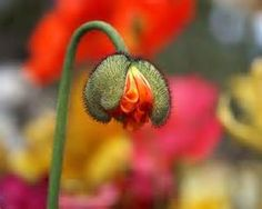 Iceland Poppy buds - Bing Images
