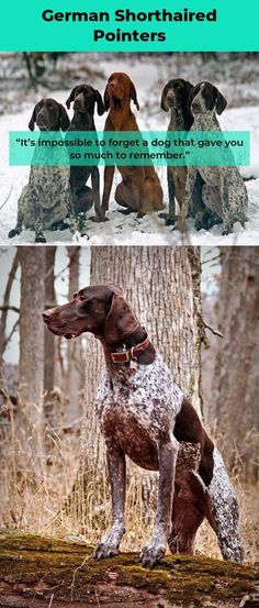 The traits I admire about the Kid Friendly German Shorthaired Pointer Gsp Puppies, Pointer Puppies, Pointer Dog, German Shorthaired Pointer, Weimaraner, Hunting Dogs, Get Outside, Pointers, Internet