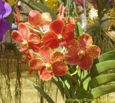 Red Yellow Vanda Orchid Flower