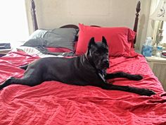 Mom's 6 month old cane corso (isadora) on her queen size bed