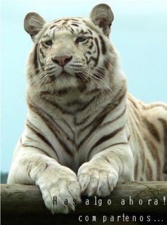 Características de los tigres » TIGREPEDIA