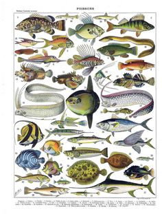 Marine Fish Art Decorative French Color Lithograph Vintage Collection Print 1897   eBay