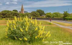 Wild Lupins on L'Islet Common, looking towards the Vale Parish Church #LoveGuernsey  Link to the whole collection of 'Georgie's Pic Of The Day' :-http://chrisgeorge.dphoto.com/#/album/4daaes  Picture Ref: 01_06_15
